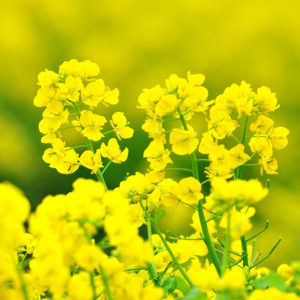 菜の花 種田養蜂場